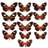 Histoire évolutive de la coloration chez les Heliconius