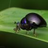Diptères Celyphidae : lorsque des mouches miment des Coléoptères