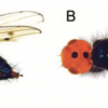 Thyreophora cynophila : le retour improbable de la mouche à tête orange !