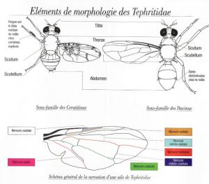 Morphologie d'une mouche Tephritidae