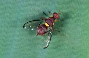 D.ciliatus femelle (A.Franck)