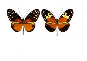 H. hecale melicerta (à gauche) et H. hecale zuleika (à droite)