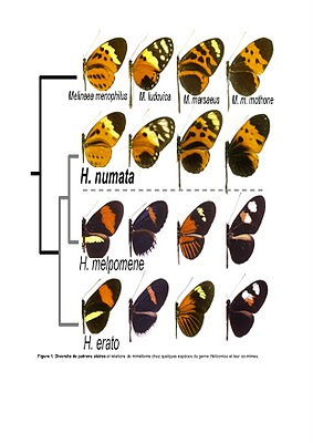 Mimetic complex in several species of butterflies of the genus Heliconius and Melpomene
