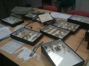 Rangement taxinomique des insectes