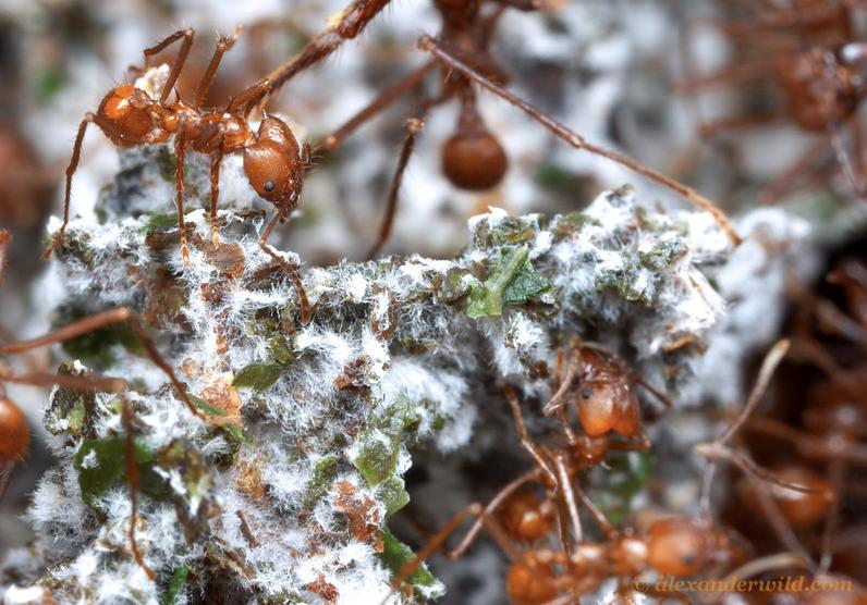 Minor cultivant le champignon (référence de l'image http://www.alexanderwild.com/Ants/Taxonomic-List-of-Ant-Genera/Atta/)