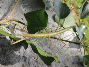 Oeuf et juvénile Carausius morosus