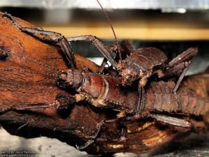 Eurycantha calcarata adult