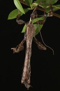 Extatosoma tiaratum mâle adulte