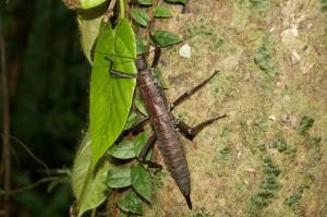 Female Eurycantha calcarata adult