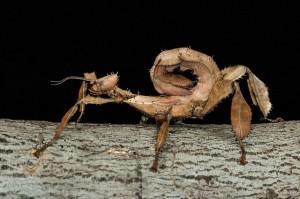 Femelle adulte d'Extatosoma tiaratum