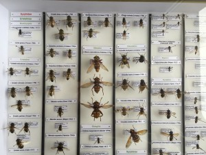 Example of insect storage, here flies of the family Syrphidae (Photo B. GILLES)