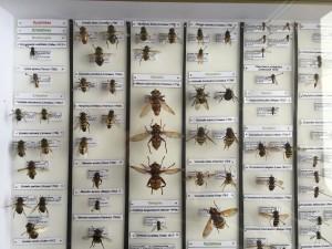 Exemple de rangement d'insectes, ici des mouches de la famille des Syrphidae (Photo B. GILLES)