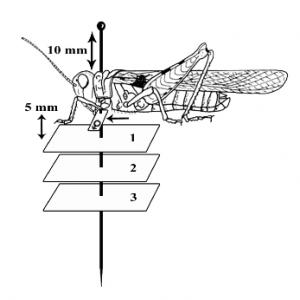 Etiquetage d'un insecte (Source : CIRAD - A. FRANCK)