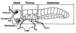Schéma de la morphologie type d'un insecte (Source : University of Missouri)