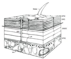Coupe de la cuticule et de l'épiderme d'un insecte - Setae : poils cuticulaire - Epic : épicuticule - Exo : exocuticule - Endo : endocuticule - Epid : epiderme - dgb : canal glande dermique - bm : membrane basale (Source : Hadley N., 1982)
