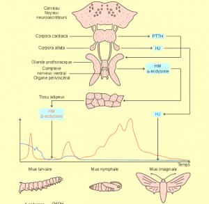 Cycle des hormones induisant la mue chez les insectes (Source : http://coproweb.free.fr)