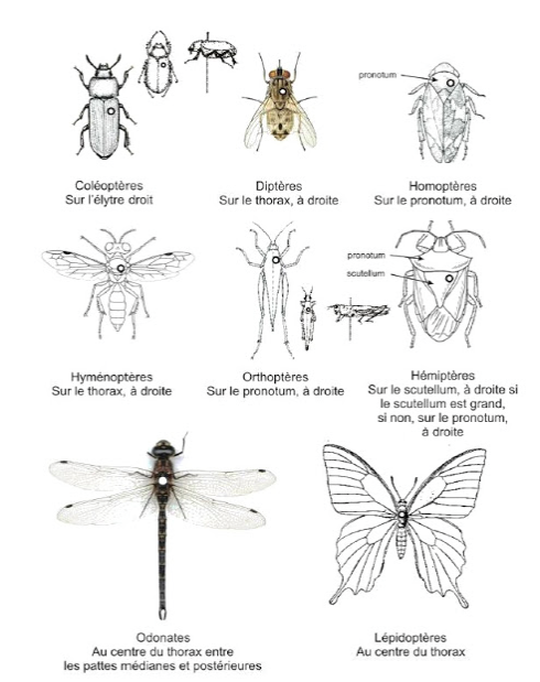 insecte volant guyane