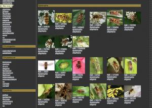 Exemple d'une page de la galerie, ici, mouches de la Famille des Syrphidae
