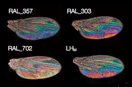Variations de reflets sur ailes de mouche Drosophila melanogaster mâle (Source : Katayama et al., 2014)