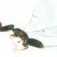 Les guêpes Agaonides et les figuiers : une histoire de mutualisme