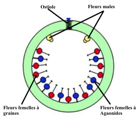 Illustration d'une coupe transversale d'une figue monoïque