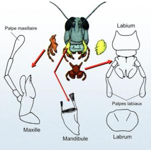 Différents éléments de l'appareil buccal des insectes (Source : UPS Toulouse)
