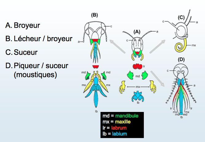 Illustration des modifications morphologiques des pièces buccales pour différents régimes alimentaires (Source : )