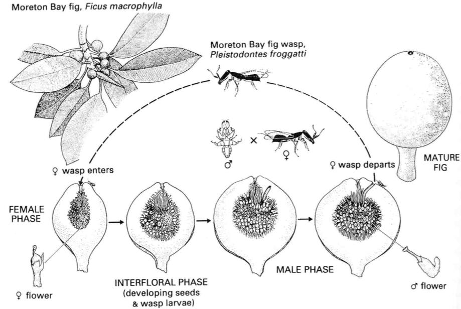 Cycle biologique d'une guêpe Agaonide