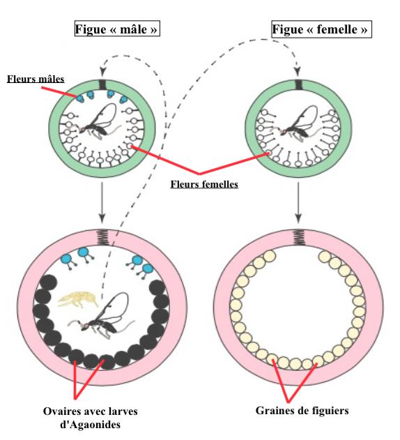 Schéma d'un cycle d'une espèce de figue dioïque