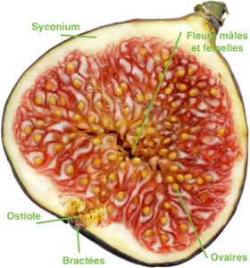 Cross section of a fig (Source : Wikipedia)