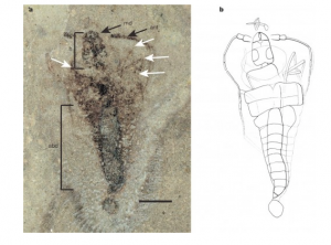 Photo and illustration of the oldest insect fossil (Strudiella devonica)