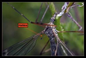 Haltère d'un diptère de la famille des Tipulidae