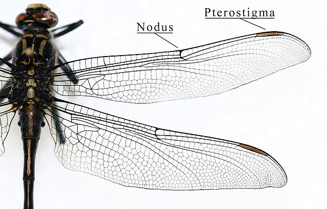 Pterostigma of a dragonfly wing (Odonata - Gomphidae) (Source :