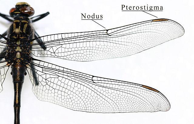Ptérostigma d'une aile de libellule (Odonata - Gomphidae) (Source :