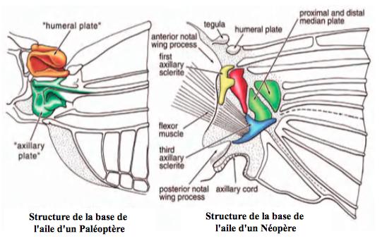 Structure de l'articulation d'une l'aile de Palèoptère et de Néoptère (Source : Evolution of the Insects, D. GRIMALDI & M.S. ENGEL, Cambridge University Press-2005) - Modifié par B. GILLES
