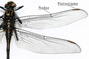 Insect flight: Anatomy of wing 1/2