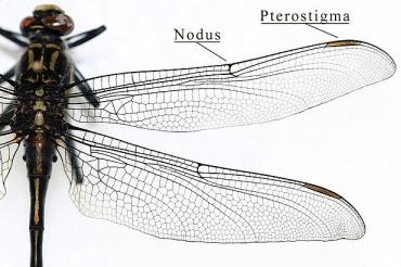 Le vol chez les insectes : Anatomie de l'aile 1/2