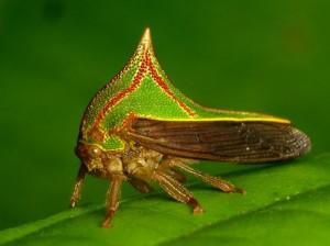 Photo 4 : Membracide de l'espèce Umbonia spinosa (Source : Andreas Kay - Flickr.com)
