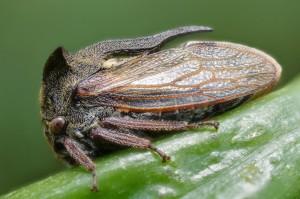 Centrotus cornutus (Source : Gilles San Martin - Flickr.com)