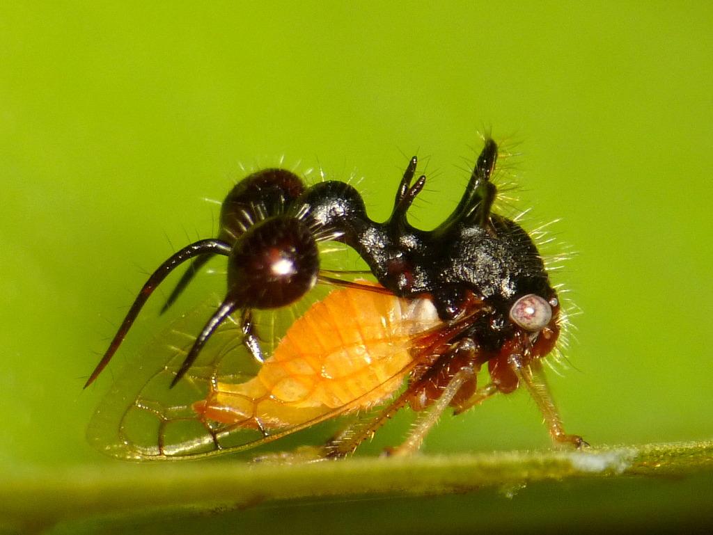 Les membracides, de surprenants petits insectes