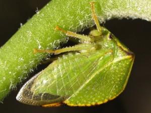 Stictocephala bisonia (Source : Ferran Turmo Gort - Flickr.com)