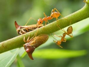Membracides et fourmis (Source : Ian Jacobs - Filckr.com)