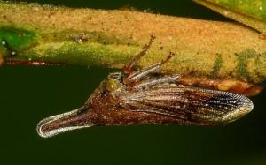 Photo 5 : Membracide du genre Calloconophora sp. (Source Andreas Kay - Flickr.com)