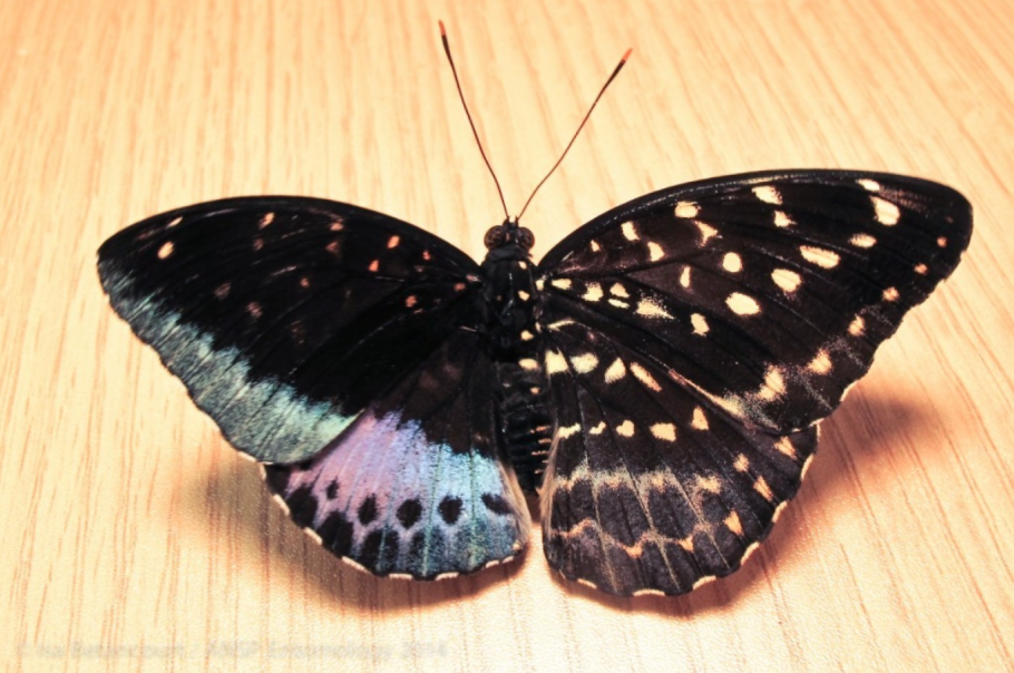 Hatching of a gynandromorph butterfly (male/female)