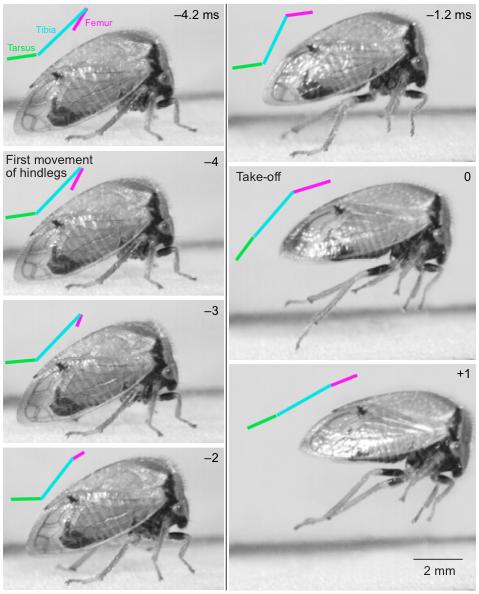 Illustration 2 : Vue de profil d'un saut de Ceresa basalis, capturé à 5 000 images seconde. Les traits de couleur correspondant aux différentes parties de la patte postérieure (