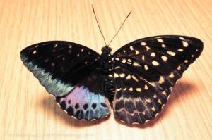 Papillon gynandromorphe de l'espèce Lexias pardalis (Source photo : Isa Betancourt/ANSP)