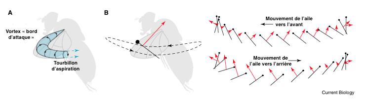 Figure 1 : A) Formation du vortex