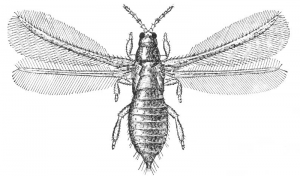 Figure 1 : Thrips of the species Taeniothrips inconsequens, Family Tripidae (Figure of H.T. Fernald - Source Wikipedia)