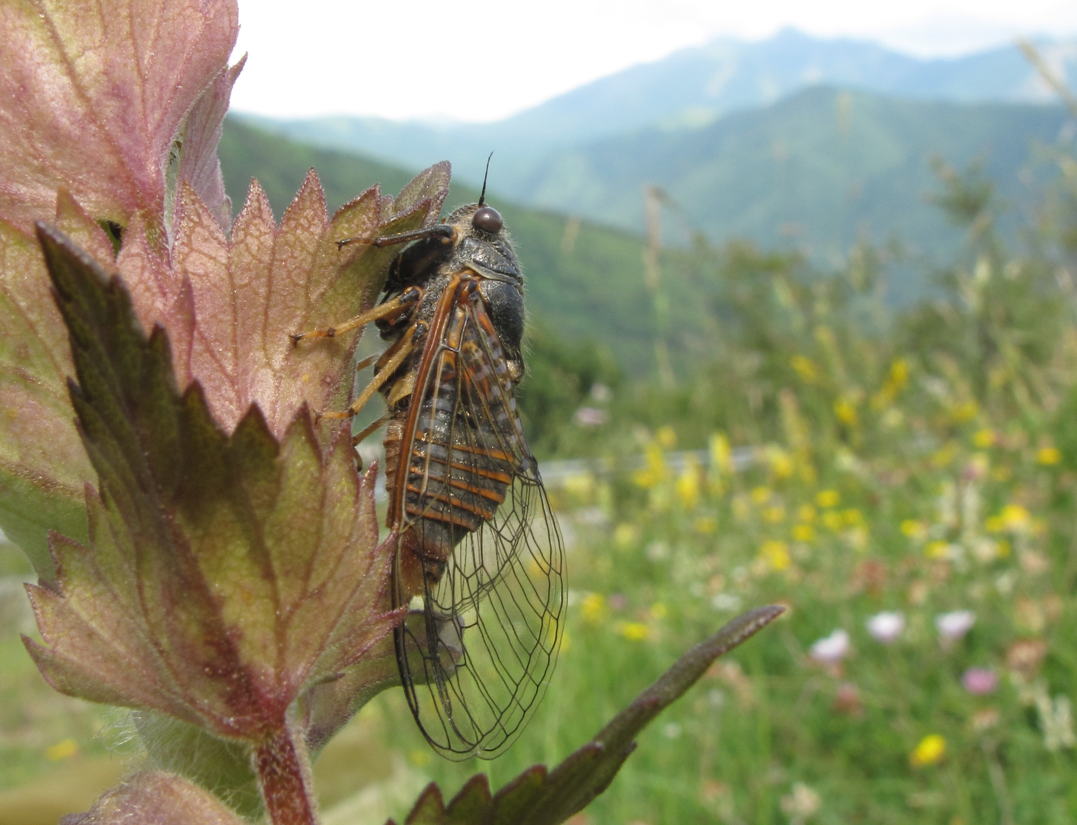 New evolutionary history of the European cicadas