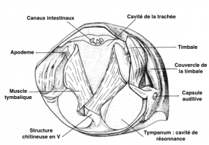 Figure 1 : Coupe transversale du thorax d'une cigale : description des timbales